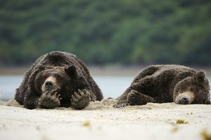 Two Brown Bears -Ursus arctos- sleeping next to each other in the sand, Katmai National Park