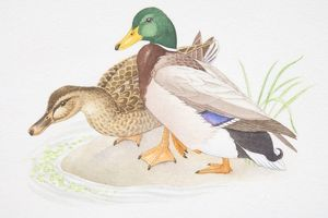 Brown female and colourful male Mallard (Anas platyrhynchos) standing together at