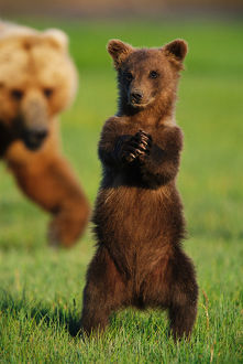 Brown grizzly bear cub (Ursus arctos) standing in front of mother