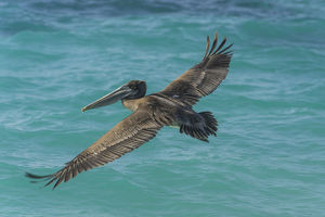 Brown Pelican -Pelecanus occidentalis-, Isla de San Cristobal, Galapagos Islands