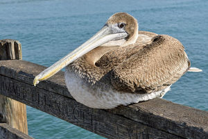 Brown Pelican -Pelecanus occidentalis-, Oceanside, San Diego, California, United States