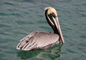 Brown pelican swimming on Cura?ao