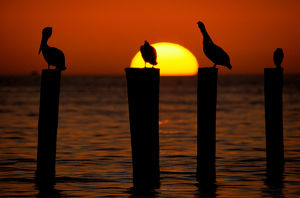 Brown pelicans (Pelecanus occidentalis) on posts at sunset
