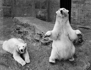 Brumas the Polar Bear Grows Up