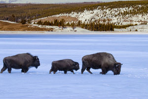 Buffalos (Bison bison) in snow, Yellowstone National Park, Wyoming, USA