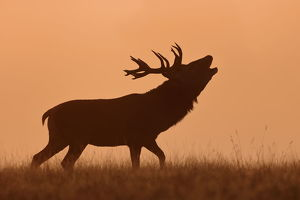 Bugling Stag