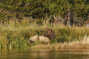 Bull Elk (Cervus canadensis) along Madison River, Yellowstone National Park, Montana