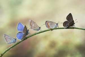 Five butterflies on a plant stem