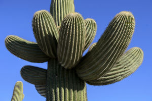 Cactus at Gila Bend, Arizona, USA