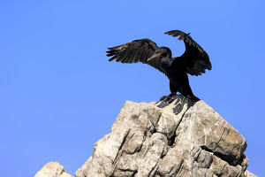 Cape Cormorant or Cape Shag -Phalacrocorax capensis-, adult on rock, stretching its wings