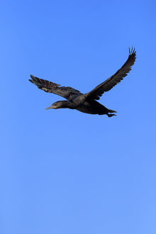 Cape Cormorant or Cape Shag -Phalacrocorax capensis-, adult flying, Bettys Bay, Western Cape