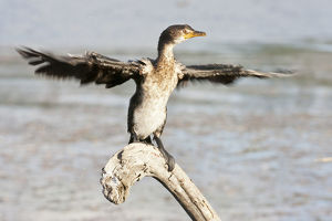 Cape cormorant or Cape shag -Phalacrocorax capensis- at Wilderness National Park