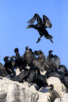 Cape Cormorant -Phalacrocorax capensis-, adult flying, landing, colony, Bettys Bay