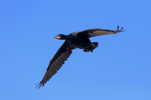 Cape Cormorant -Phalacrocorax capensis-, in flight, Bettys Bay, Western Cape, South Africa