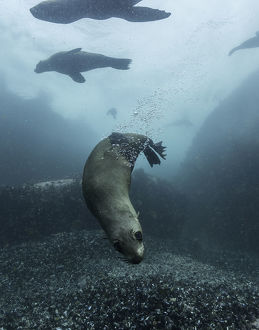 Cape fur seals playing in the shallow water around their colony in False Bay, South Africa