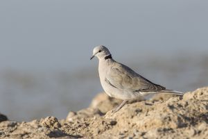 Cape turtle dove -Streptopelia capicola-, Etosha National Park, Namibia, Africa