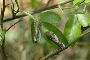 Caterpillars of the scarlet mormon -Papilio rumanzovia-, early stage, found in South