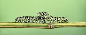 Two Caterpillars on a stem