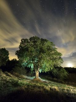 Celtis australis tree, over 100 years in the field illuminated by the light of the moon