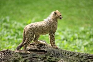 Cheetah -Acinonyx jubatus-, cub, native to Africa, captive, Nuremberg, Middle Franconia