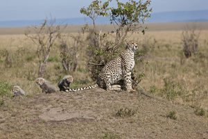 Cheetah -Acinonyx jubatus- with cubs, Masai Mara National Reserve, Kenya, East Africa