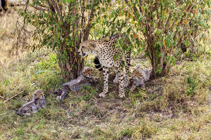 Cheetah -Acinonyx jubatus- with three cubs, Masai Mara National Reserve, Kenya, East Africa