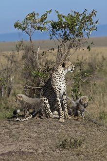 Cheetah -Acinonyx jubatus- with kittens, Masai Mara National Park, Kenya, East Africa