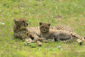 Cheetah -Acinonyx jubatus-, mother with cub, native to Africa, social behavior, captive