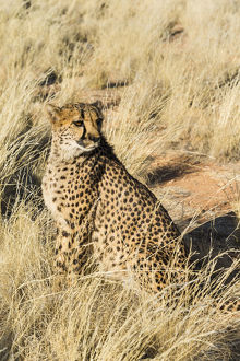 Cheetah -Acinonyx jubatus- sitting in the grass, Namibia