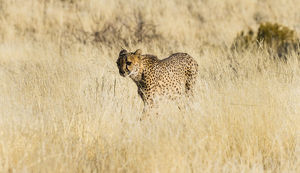 Cheetah -Acinonyx jubatus- stalking through the tall grass, Namibia