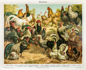 Chicken poultry engraving 1895