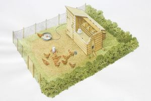 Chicken run, group of hens with rooster pecking grains, enclosed by hedges and fences