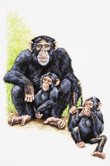 Chimpanzee, mother and two young
