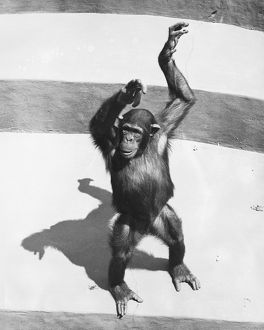Chimpanzee standing on concrete surface painted in stripes, (B&W)