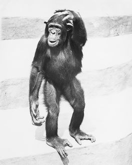 Chimpanzee standing on steps, scratching head, (B&W)
