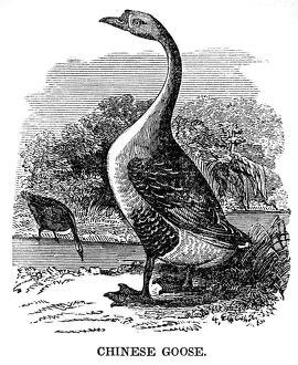 Chinese Goose engraving 1841