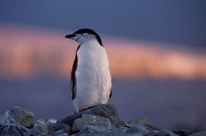 Chinstrap penguin (Pygoscelis antarctica)standing on rock