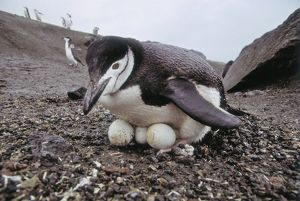 Chinstrap Penguin, Pygoscelis antarctica, inexperienced adult collected 4 abandoned eggs