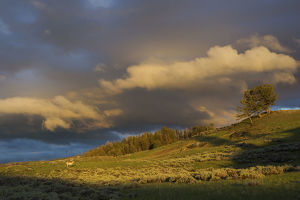 Clearing Thunderstorm over Yellowstone National Park, Pronghorn Antelope (Antilocapra