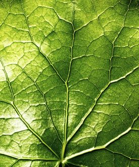 Close up of a green leaf and veins