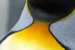 Close-up of the colorful neck feathers of a King Penguin