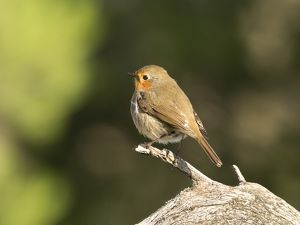 Close-Up Of Robin (Erithacus rubecula) , standing on a branch of tree . Spain, Europe.