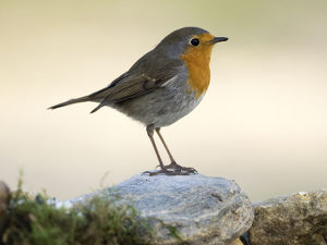 Close-Up Of Robin (Erithacus rubecula) , standing on a rock . Spain, Europe.
