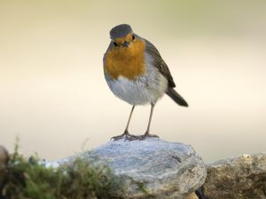 Close-Up Of Robin (Erithacus rubecula) , standing on stone . Spain, Europe.