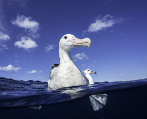 Close up of a wandering albatross floating on the water's surface, North Island