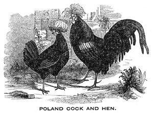 Cock and Hen engraving 1844