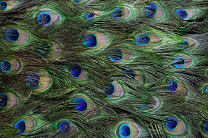 Colorful and Distinctive Peacock Tail Feathers