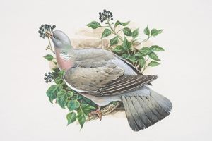 Columba palumbus, Woodpigeon, illustration of grey bird with white neck and white wing patches
