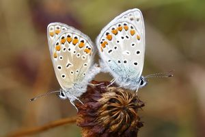 Common Blue (Polyommatus icarus), mating
