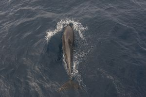 Common Bottlenose Dolphin -Tursiops truncatus-, Floreana, Galapagos Islands, Ecuador
